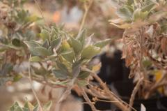 Guayule Plant